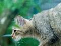 Wildkatze auf der Pirsch